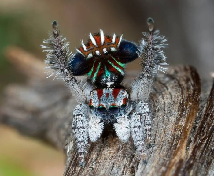 These 7 New Species of Adorable Little Peacock Spiders
