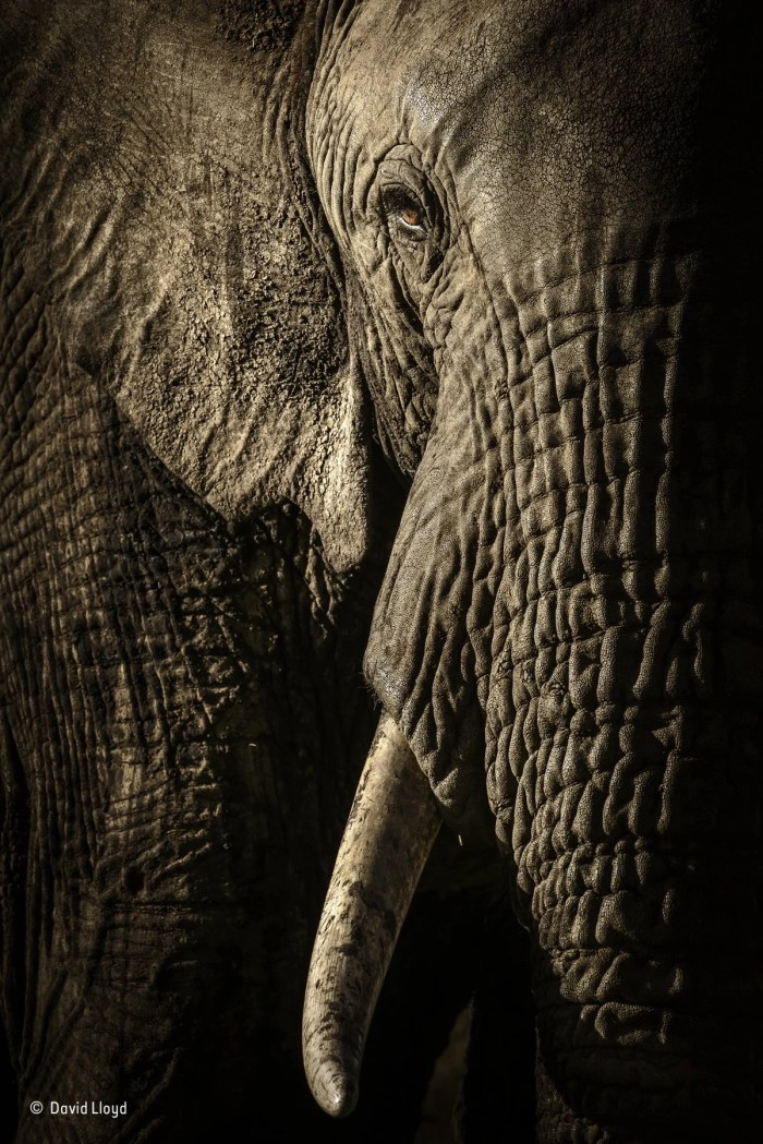 this elephant in kenyas maasai mara national reserve led her herd on its evening trek to a waterhole she was most likely the matriarch of the group