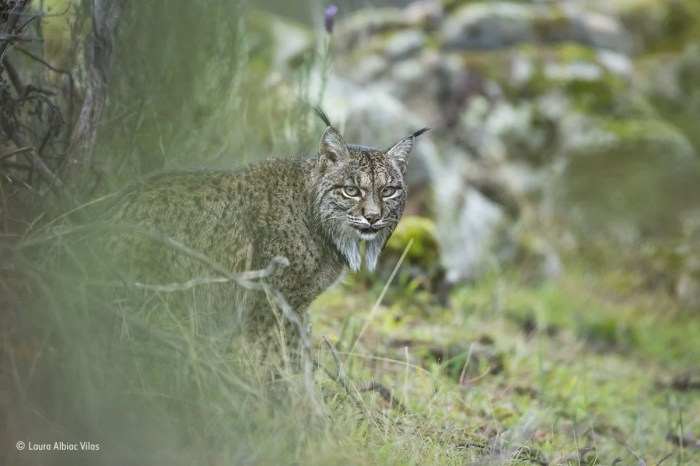 this iberian lynx spotted in the sierra de andjar natural park in southern spain is a rare creature that feeds almost exclusively on rabbits
