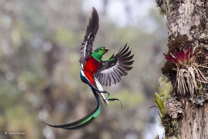 this resplendent quetzal was seen in the costa rican cloud forest of san gerardo de dota it fed its chicks fruits and insects day after day eventually using food to entice them to leave the nest