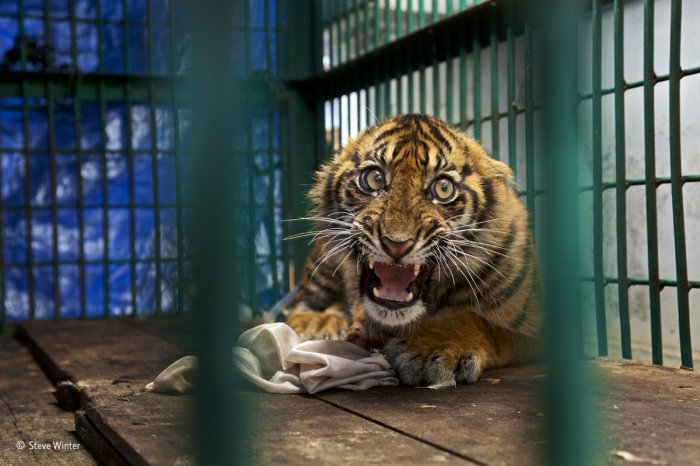 this sumatran tiger cub was saved from a snare in a rainforest in aceh province on the indonesian island of sumatra by an anti poaching patrol