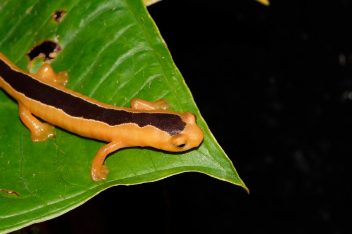 golden wonder salamander on a leaf