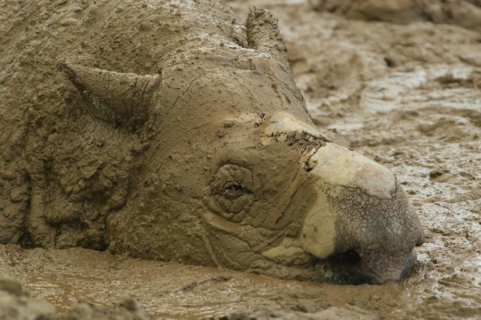 246 sumatran rhino 3