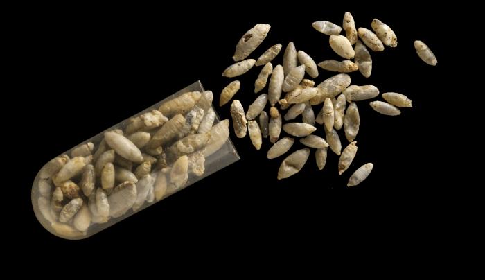 mineralised fly pupae inset