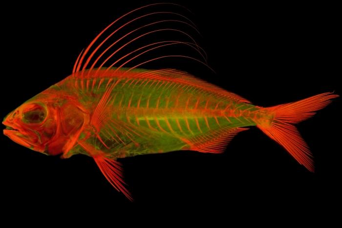 skeletal imaging roosterfish
