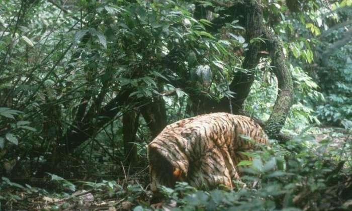 tiger coat researchers