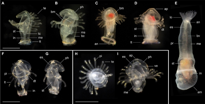 actinotrochs panama