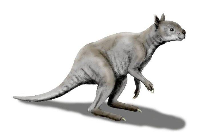 Artistic reconstruction of the extinct short-faced kangaroo. (N. Tamura)