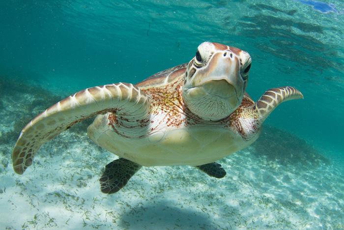 green sea turtle istock