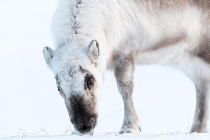 svalbard reindeer istock