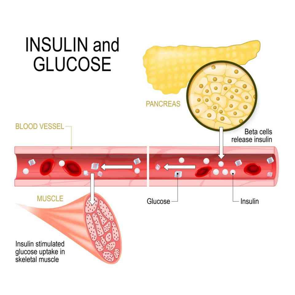 Бета-клетки поджелудочной железы выделяют инсулин в кровеносный сосуд.  Инсулин стимулирует всасывание глюкозы в скелетных мышцах.  (Designua / Шаттерстки)