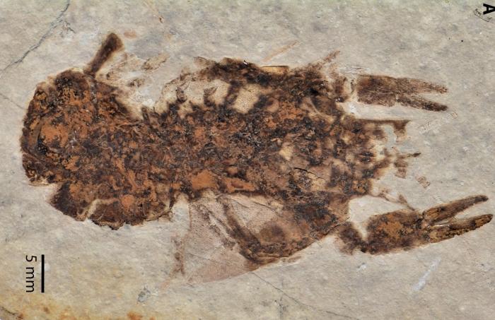 fossil crayfish