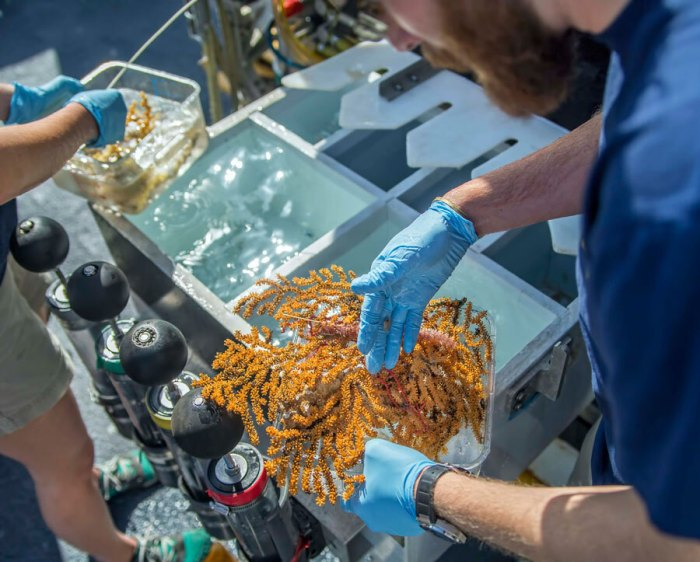 Researcher holding coral collected during one of the ROV dives. (Ocean Exploration Trust/Nautilus Live)