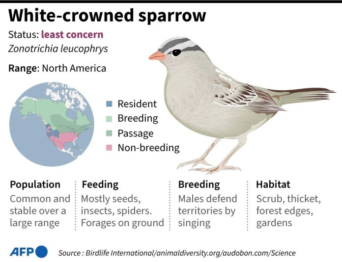 White-crowned sparrow facts. (AFP/Birdlife International)