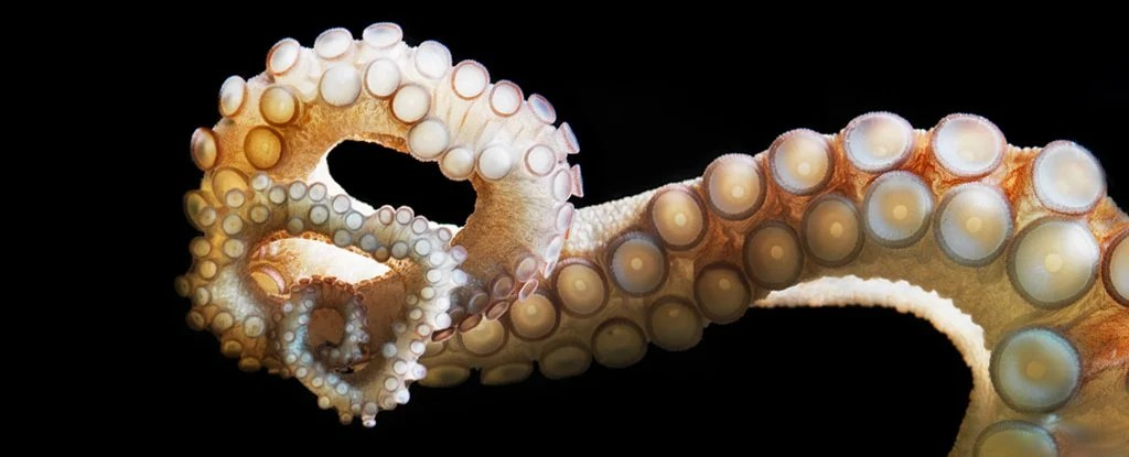Octopuses Can Taste You With Their Arms. Here's How That's Possible