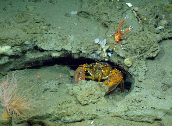 American lobster and squat lobster at Baltimore Canyon CREDIT STEVE ROSS