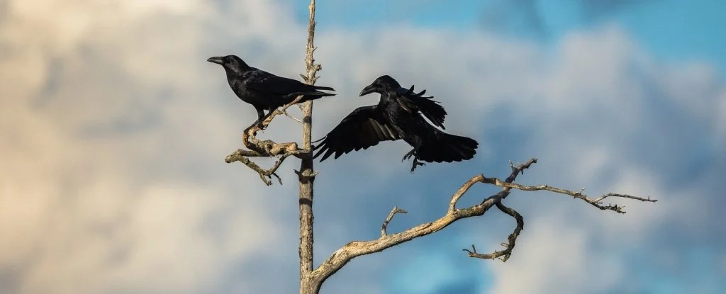 13 Surprisingly Weird Reasons Why Crows And Ravens Are The Best Birds No Question