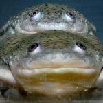 Toads in Amplexus