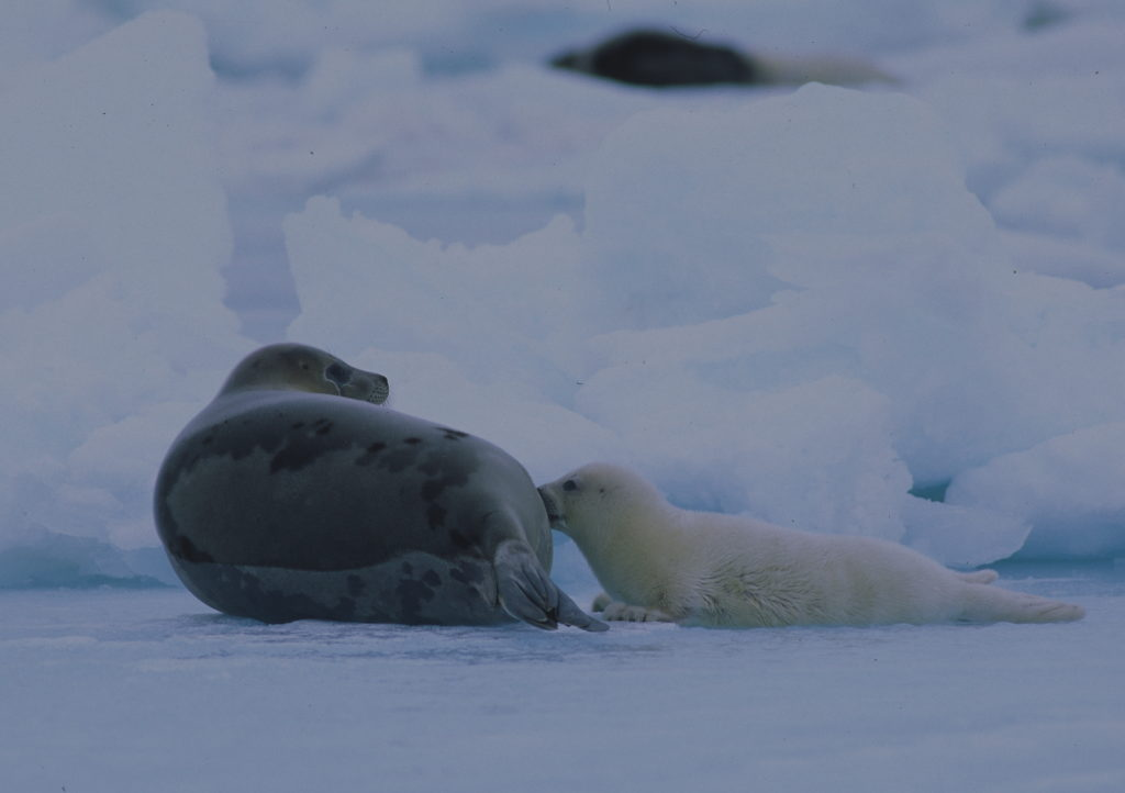 harp seal life cycle diagram 1995 dodge dakota wiring the effects of sea ice loss on seals sciencebuzz abstract