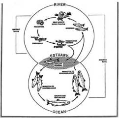 Brown Bear Diagram Car Wiring Harness Critical Status Of The Sciencebuzz Fig 5 Salmon Life History