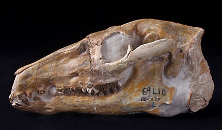 Fossil camel skull Poebrotherium sp  Science Buzz