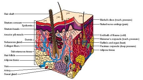integumentary system diagram labeled kohler shower valve parts body used water chemical carbon oxygen structures for sensing are on the right