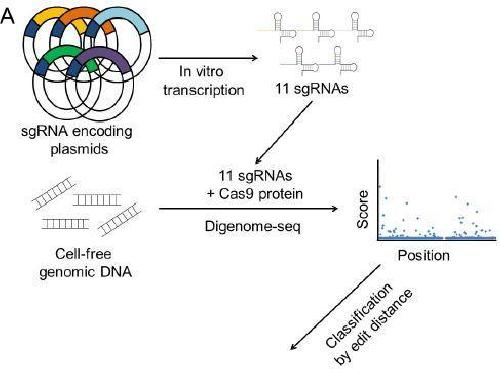 New tool for efficiently validating the accuracy of CRISPR