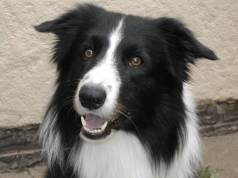 border-collie-u1