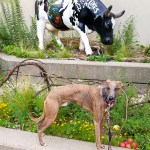 Kuiper stands next to a cow statue. He looks like he is chewing his cud.