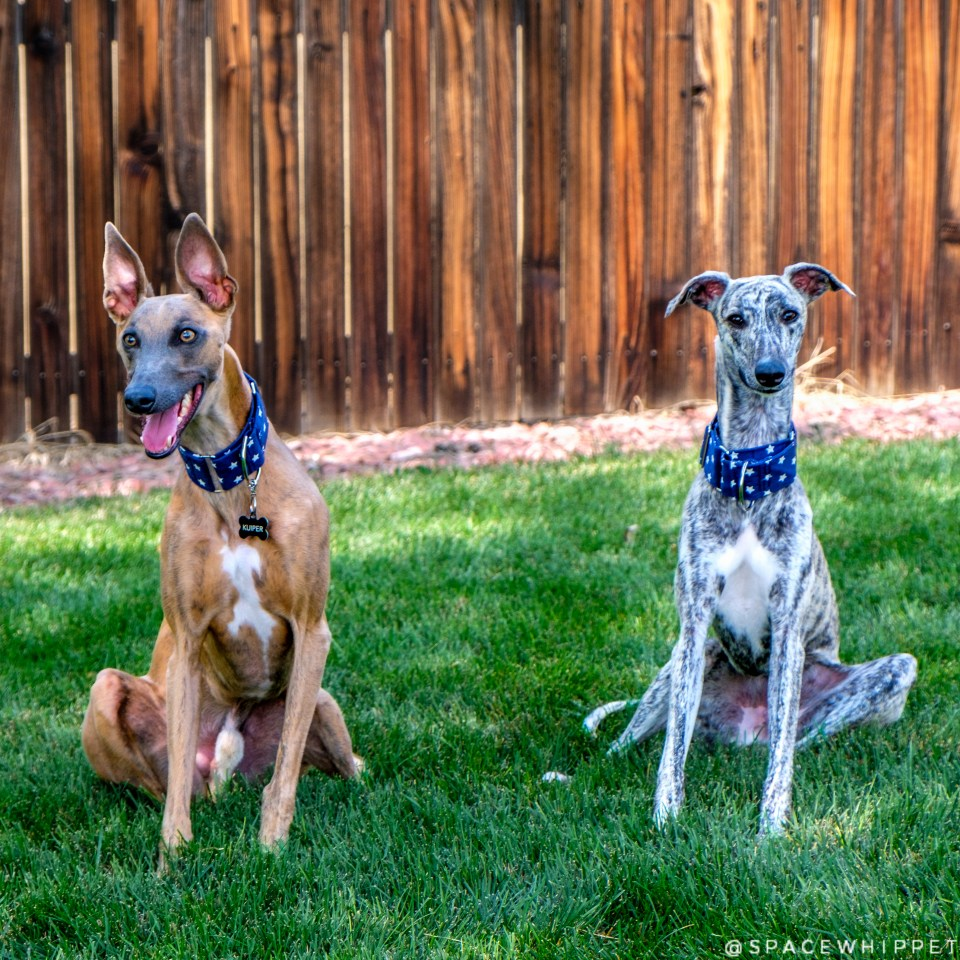 Two whippets named Kuiper sit side by side. They have matching collars.
