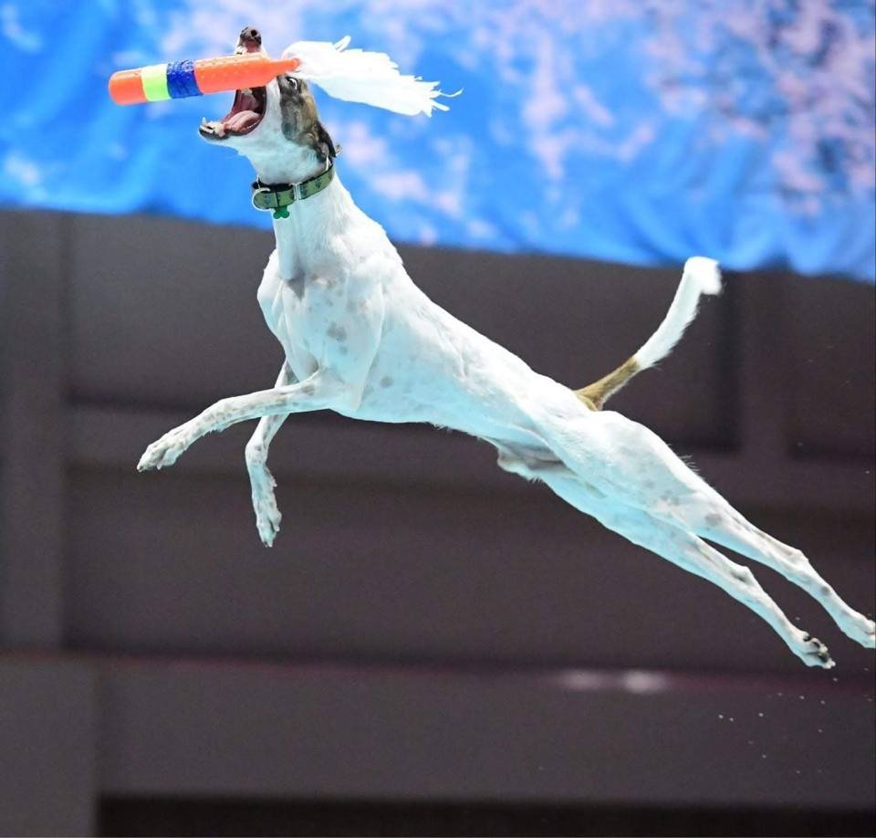 Kuiper's cousin in midair. He is fully extended and reaching for a toy.