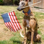 Kuiper wears a tactical vest and a flag collar. He is holding an American flag in his mouth and looking pensive.