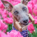 Closeup of Kuiper in a field of tulips. He is holding a wooden obedience article in his mouth.
