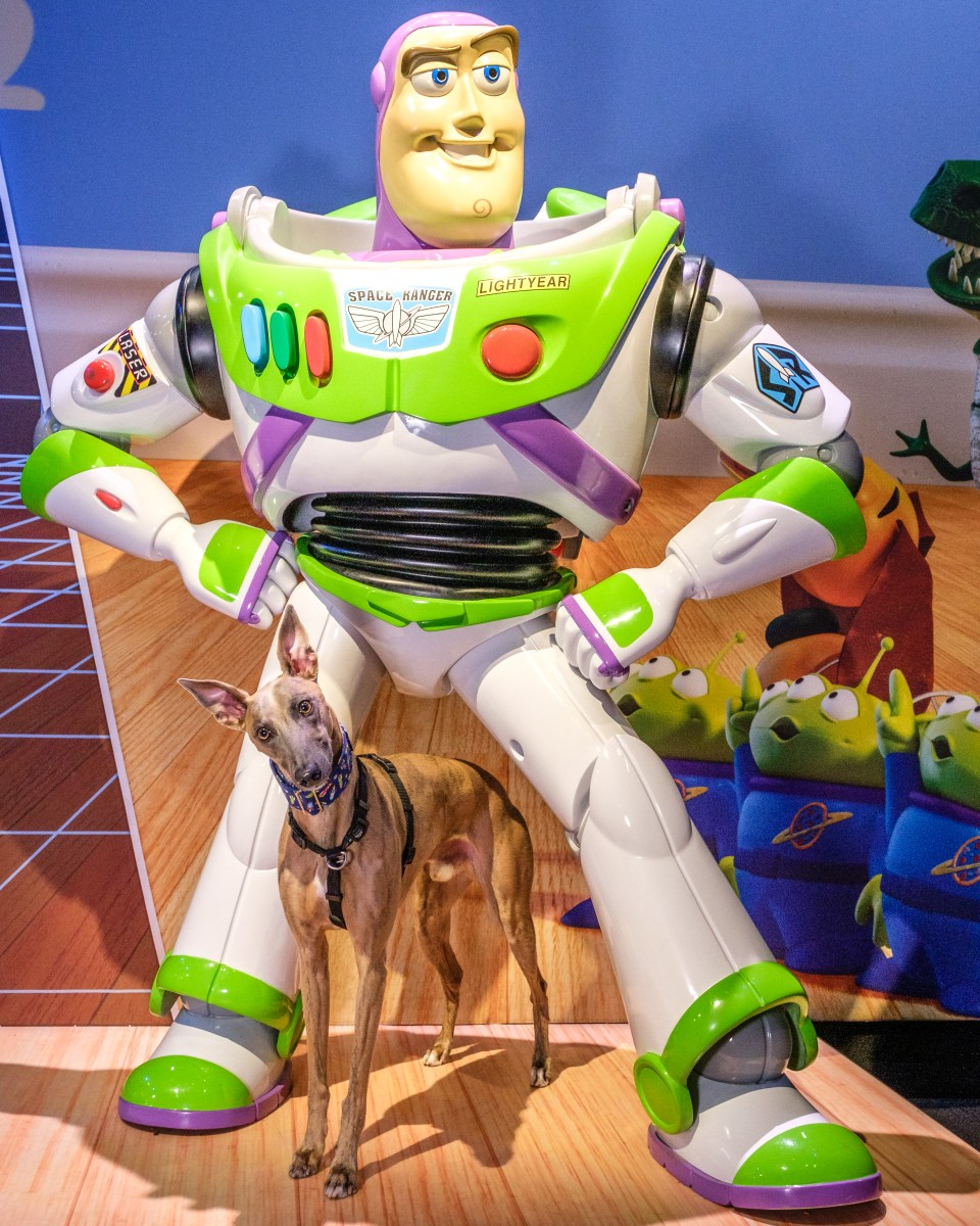 Kuiper tilts his head and stands between the legs of a Buzz Lightyear statue.
