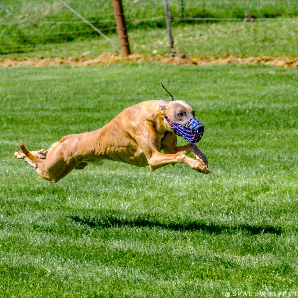 Kuiper flies through the air. He is wearing a galaxy-colored racing muzzle.