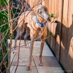 Kuiper chews on a backyard plant.