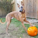 Kuiper poses with a paw on a pumpkin with a hole chewed in it. He has pumpkin on his face.