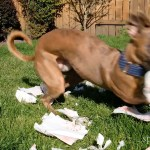 Kuiper zips around the yard while shredding napkins.