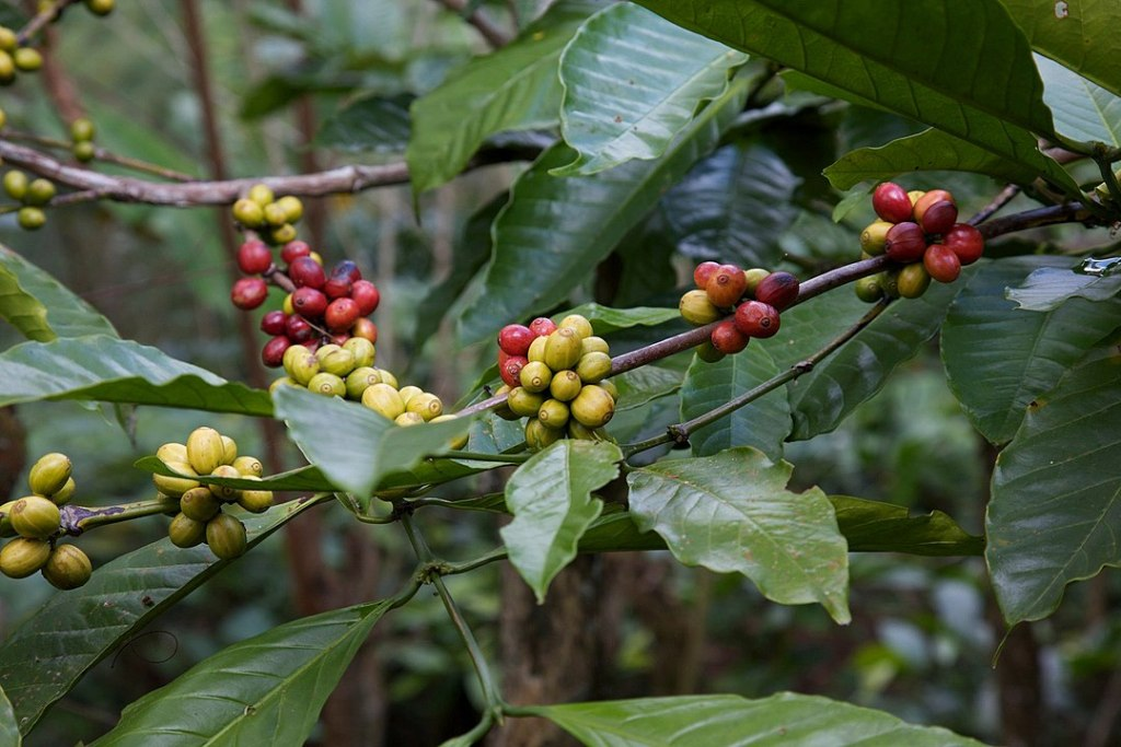 picture of the Coffea plant and its berries