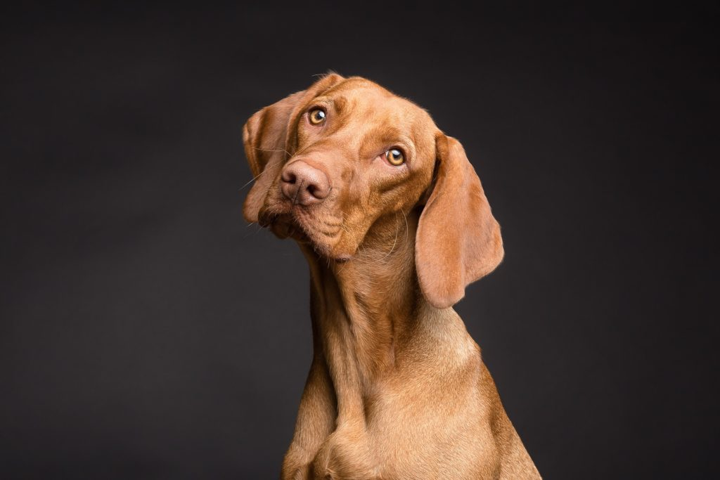 dog with tilted head and long ears