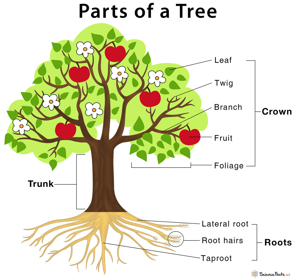 hight resolution of Parts of a Tree and Their Functions   Science Facts