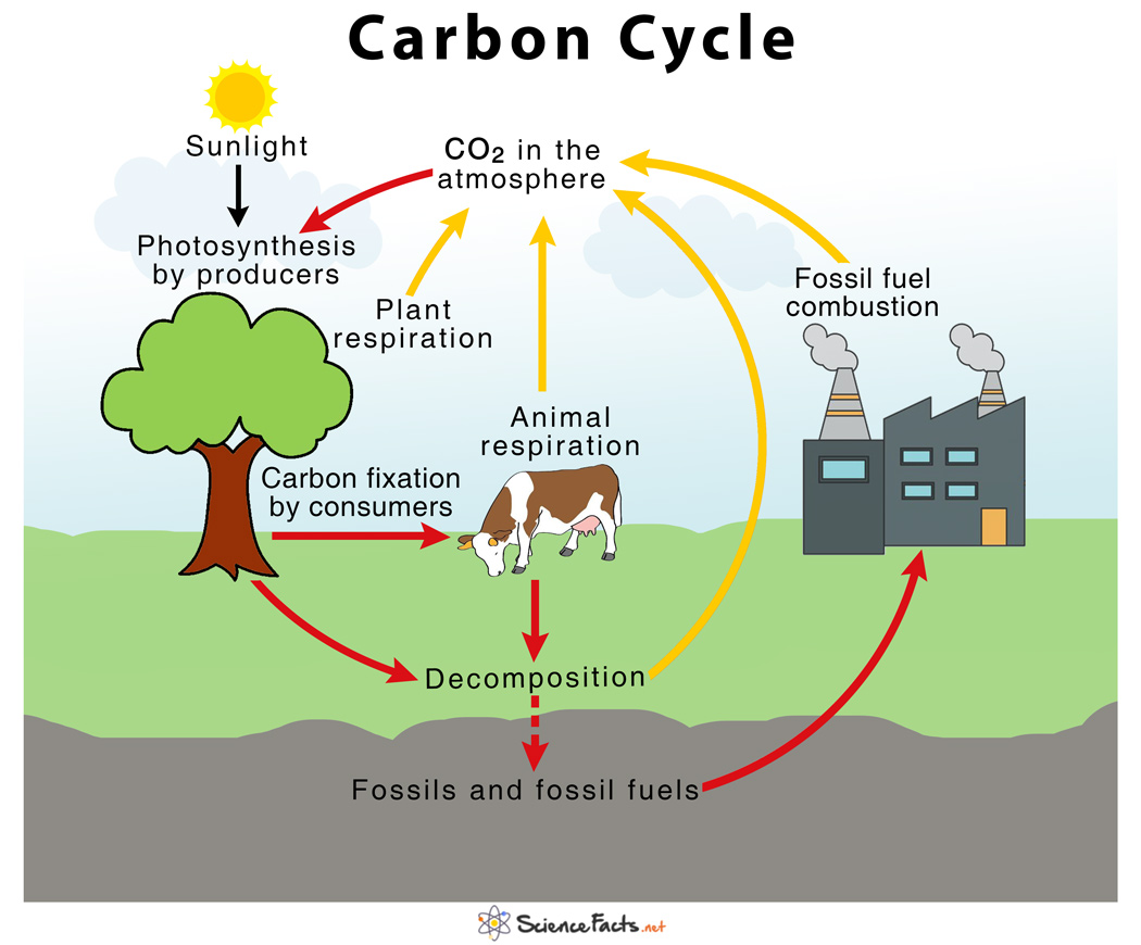 Carbon Cycle Definition Human Impacts Importance Amp Diagram