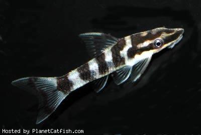 catfish65 otocinclus cocama aquarium