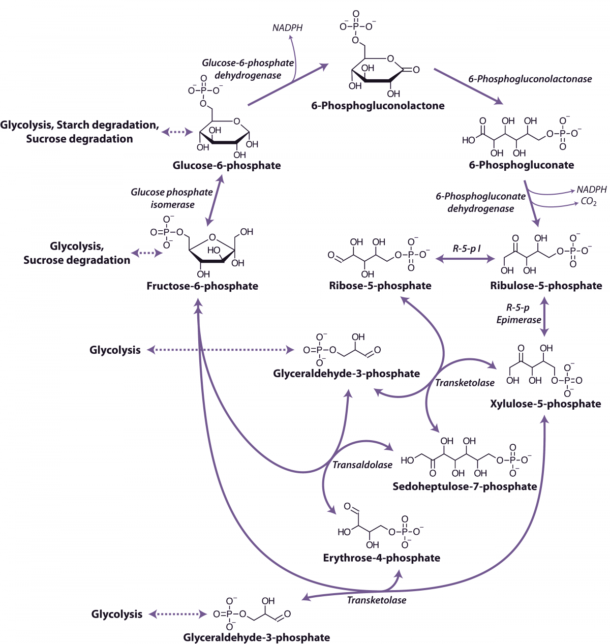 Glycolysis And Pentosephosphate Pathway Paradox