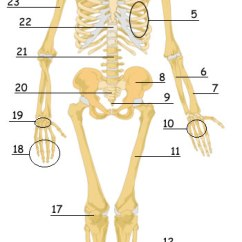 The Human Skeleton Diagram Fill In Blanks Wiring For Honeywell Thermostat Rth2300 Rth221 Skeletal System