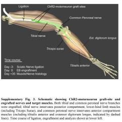 Rat Muscle Anatomy Diagram Electrical Wiring Of Rice Cooker Lights Motor Neurons And Action Science In The