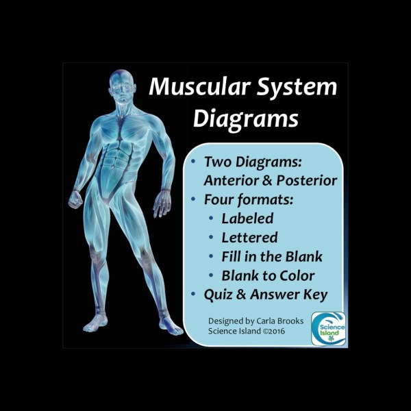 Muscular System Diagrams - Science Island