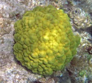 """Porites astreoides (mustard hill coral)"" by James St. John/ CC BY 2.0"