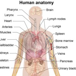 The Lung Anatomy Diagram Label Dual Rv Battery Wiring Human Organs Body Pictures Science For Kids This Of Shows A Range That Are Important To