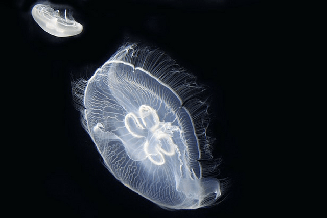 Jellyfish: Fascinating Facts About Blobs That Outlived the Dinosaurs [infographic]